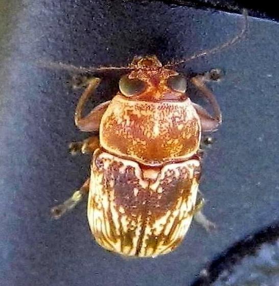Pachybrachis - Pachybrachis turbidus