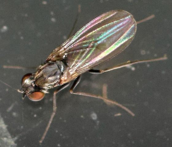 woodpecker fly - Medetera - male