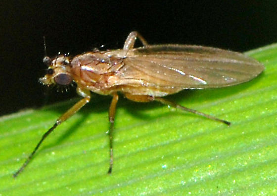 Pointed-winged Fly - Lonchoptera bifurcata - female