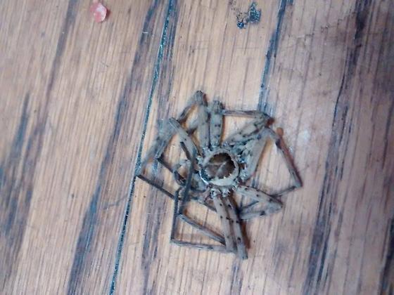 Burn down my house? - Heteropoda venatoria