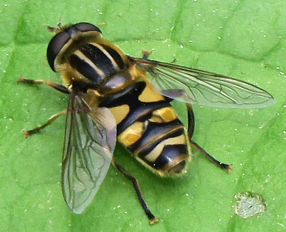 fasciatus or latifrons? - Helophilus fasciatus - male
