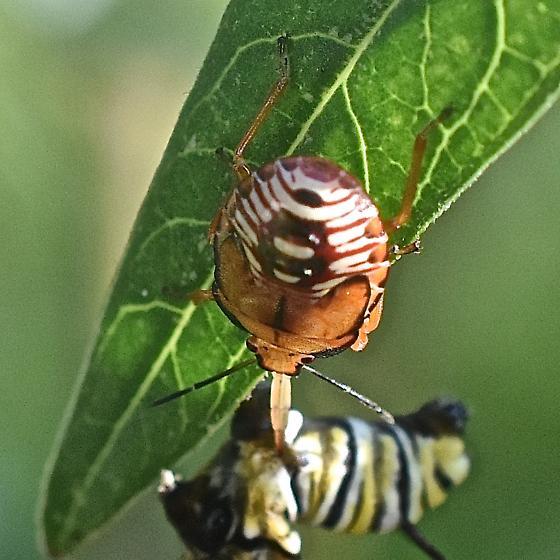 Predatory Stink Bug nymph - Podisus