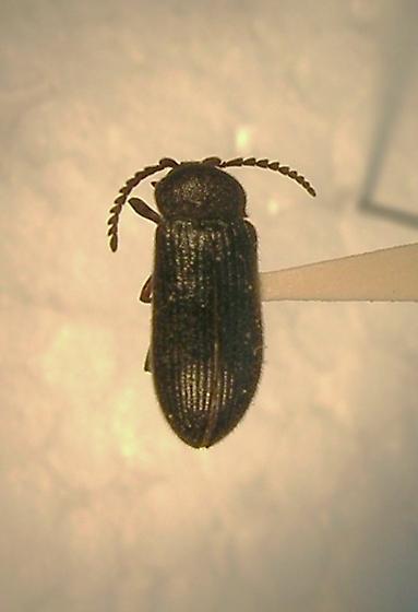 Cerophytum convexicolle - female