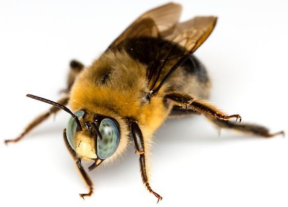 Xylocopa tabaniformis androleuca? - Xylocopa tabaniformis - male