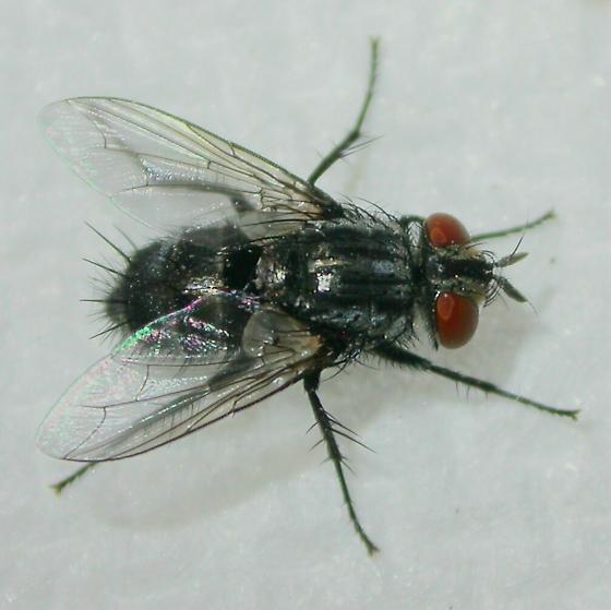 Fly - Exorista - female