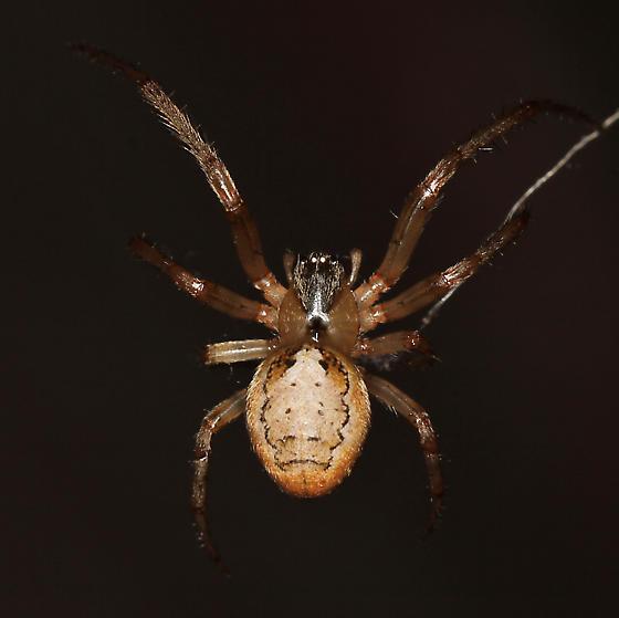 spiders found in zoo around building lights - Zygiella x-notata - female