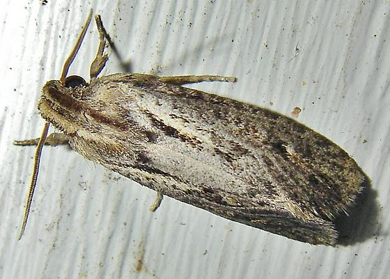 A moth with robust labial palps. (?) Submitted for ID. Acrolophus sp.. - Acrolophus