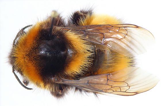 Bombus hyperboreus Q - Bombus natvigi - female