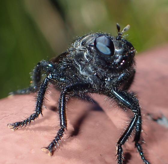 Huge black furry Robber with smokey-brown wings - Pogonosoma ridingsi