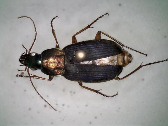 05Jul2017.BF.P.coleo6b - Chlaenius emarginatus