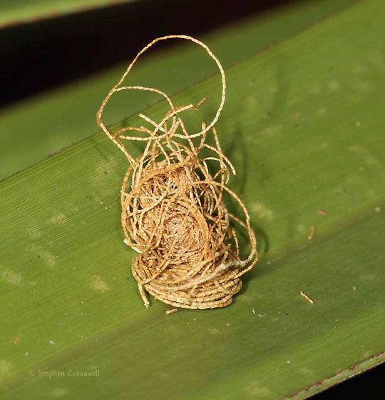 Larval Palmetto Tortoise - Hemisphaerota cyanea
