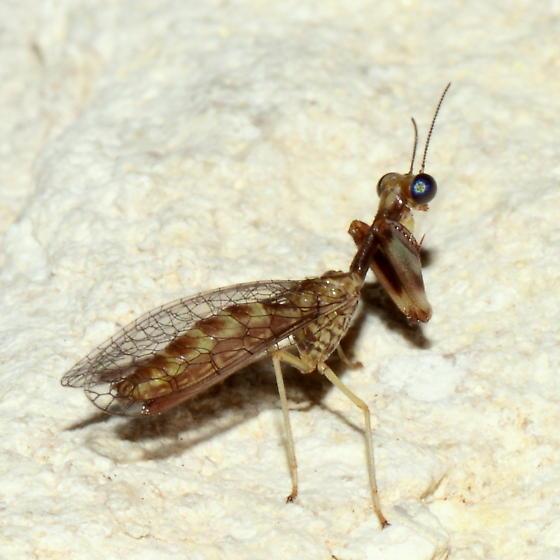 Could you kindly identify this mantidfly? - Leptomantispa pulchella