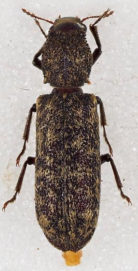 Bostrichidae - Lichenophanes truncaticollis