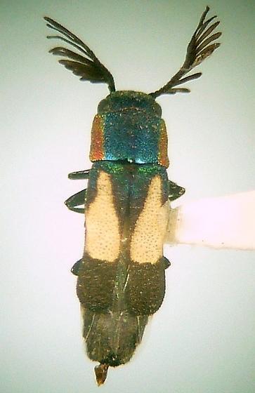 Xenorhipis osborni - male