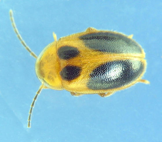 Gold & black beetle - Sacodes pulchella