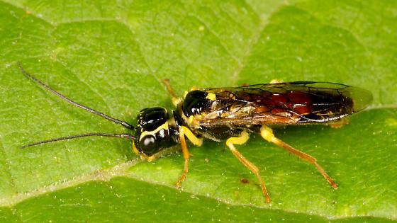 Ichneumon Wasp ?