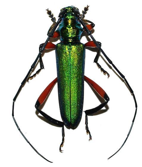 Plinthocoelium sp. - Plinthocoelium suaveolens