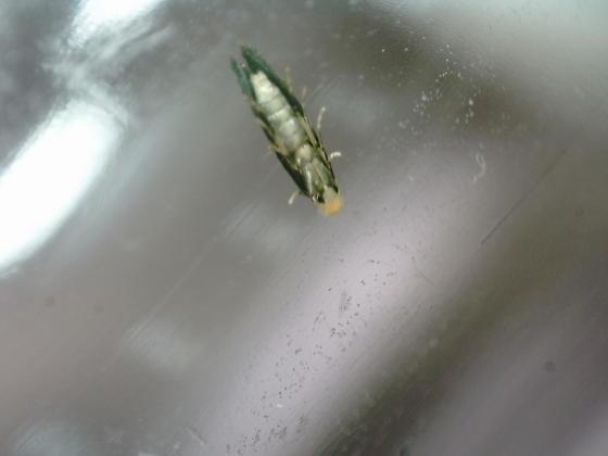Lake Aberdeen leaf miner on Alnus serrulata D2499 adult 2020 1 - Bucculatrix locuples