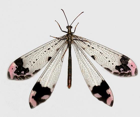 BG1519 D0666a - Glenurus gratus