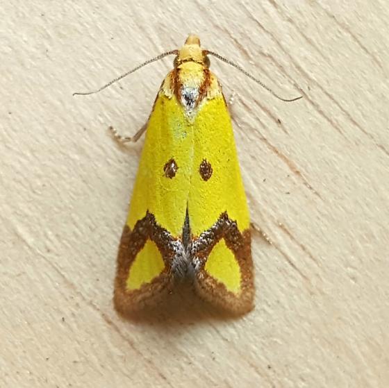 Tortricidae: Agapeta zoegana  - Agapeta zoegana