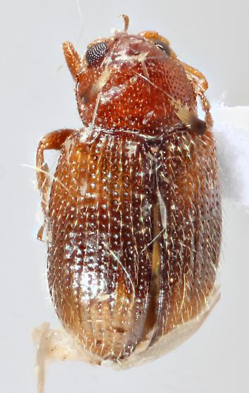 Sonora2 J51 - Epitrix hirtipennis