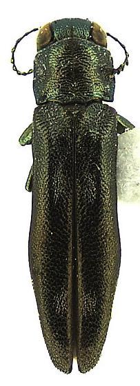 Agrilus egeniformis Champlain & Knull - Agrilus egeniformis - male