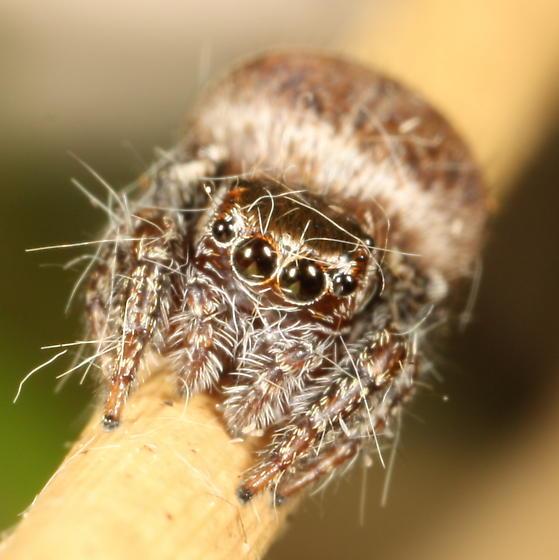 Jumping spider eating common ringlet - Evarcha hoyi - female