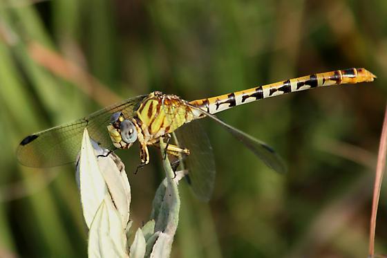 ringtail dragonfly - Erpetogomphus designatus