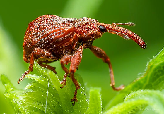 Coleoptera. Curculionidae. - Anthonomus quadrigibbus
