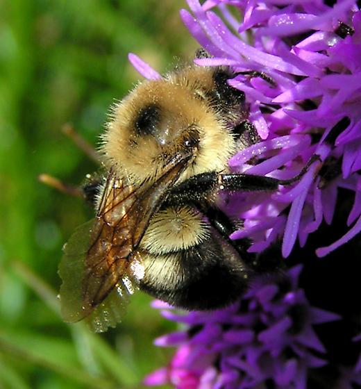 Worker Bumblebee - Bombus bimaculatus - female