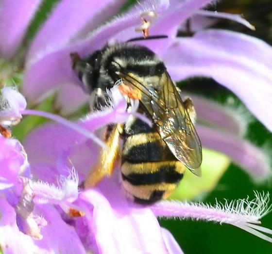 striped bee - Florilegus condignus