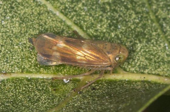 Planthopper  - Jikradia olitoria