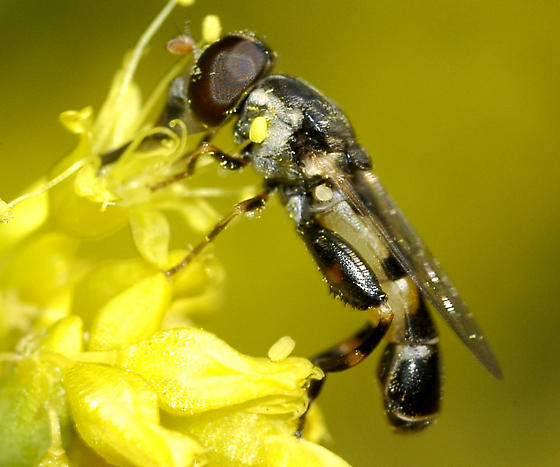 Syrphidae with hefty hind leg  - Syritta pipiens