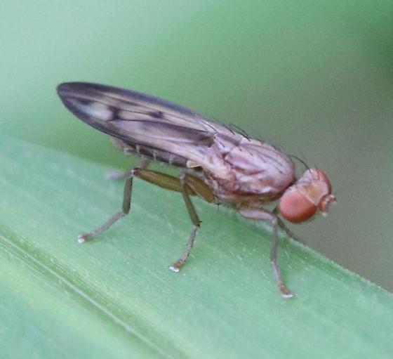 smoky black irridescent wings fly - Opomyza