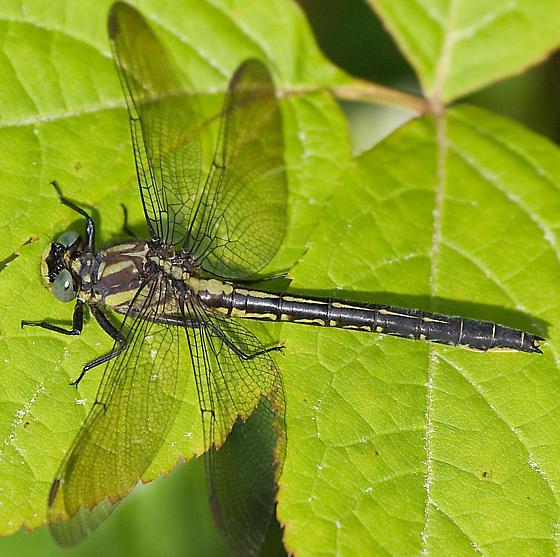 another clubtail - Phanogomphus descriptus