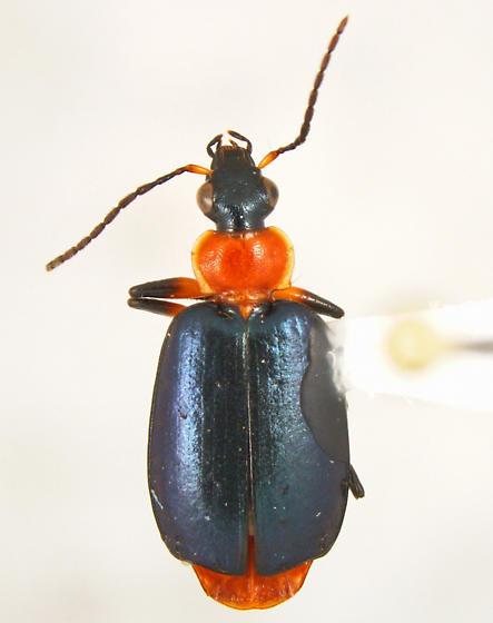 Lebia - Lebia viridipennis