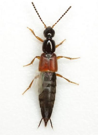 Philonthus rufulus Horn - Philonthus rufulus