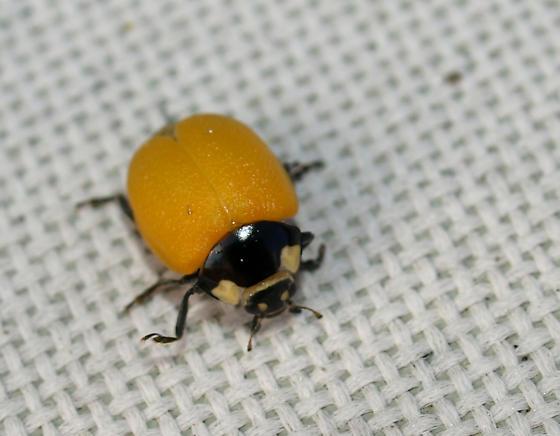 Orange ladybug? - Coccinella