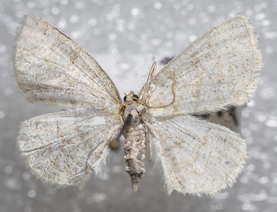 Gueneria similaria - female