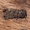 Moth - Panthea gigantea