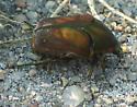 Beetle - Cotinis nitida