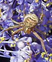 crab spider on Ceanothus - Xysticus cristatus
