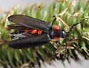 mites on a diurnal firefly - Trombidium