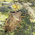 Spined Soldier Bug? - Podisus maculiventris