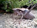 Least shieldback Katydid - Atlanticus monticola - male