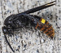 Orange and Yellow Rumped Wasp? - Scolia dubia - male