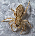 Jumping Spider - Menemerus bivittatus