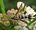 Sesiidae - Carmenta engelhardti - female