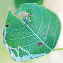 Leaf mines on Chinese Tallow - Caloptilia triadicae