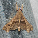 Faint-spotted Palthis - Hodges#8398  - Palthis asopialis